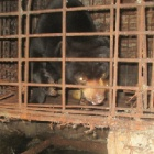 Sun bear set for rescue in Vietnam after being a caged pet for seven years