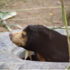 The first sun bear rescued by Animals Asia in Vietnam passes away