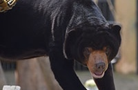 Rescued sun bear steps on grass for first time after 15 years of cruel captivity