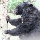 Rescued from a bear bile farm - now Barri trusts his carers enough for a manicure