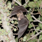 #BatAppreciationDay: Not a harbinger of doom but a canary in the coal mine