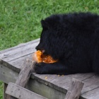 Endangered moon bears celebrate Halloween in style by smashing pumpkins