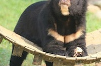 Captive bears set for better care in Vietnam