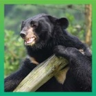 The world's cutest moon bear house swap. It's moon bear moving day.