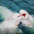 World Whale Day: The beluga communities crushed for the circus
