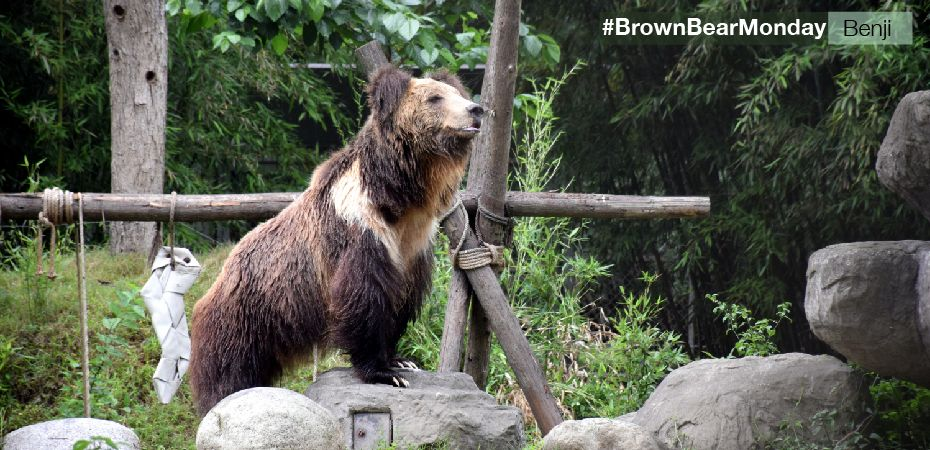 VIDEO: A decade on, rescued brown bear Benji is still celebrating
