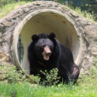Rescued bear swaps a bed of broken metal for soft grass in spring
