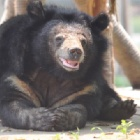 Rescued from bile farms – every day is special for these ageing bears