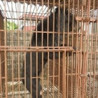 New report proves bear bile farming fuels wild poaching