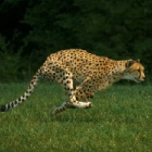How cheetahs evolved springy spines and ultra-sensitive inner ears to outcompete their competitors