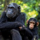 World Chimpanzee Day: Our closest relatives have the compassion to adopt orphans, but do we have it in us to save them?