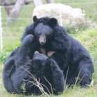 PICTURES: After years of bile farm abuse – bears Angelica and Cinnamon are now pain free