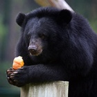 Miomojo Bear House: Welcome to the largest community of rescued moon bears in Vietnam (for now!)