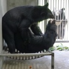Caged side by side for 15 years - these rescued moon bears just met
