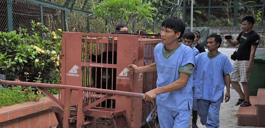 Animals Asia rescues the last caged bear in Gia Lai Province Vietnam