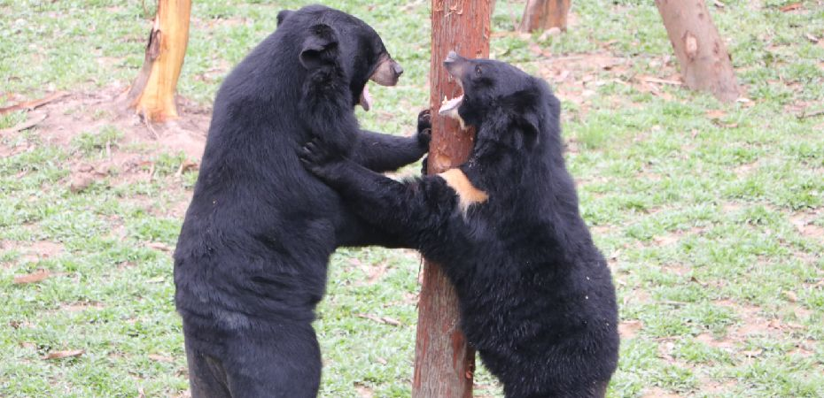 NEWS: Up to 40 more bears could be rescued as Vietnam sanctuary expands