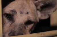 Tidal wave of change sweeping away Indonesia's dog meat trade