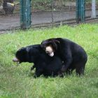 Rescued sun bear best friends are all smiles as they wrestle together on the grass