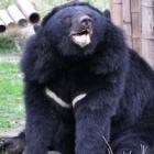How ice melting in Canada helped a rescued moon bear in China called Dick