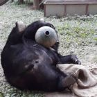 #MoonBearMonday: Watch rescued bear try to play with all her toys at once