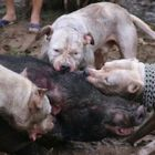"Brutal dog vs boar ""fight"" in Vietnam sparks national outrage and calls for law change"