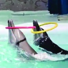 More sad footage shames Indonesia's infamous travelling dolphin circuses
