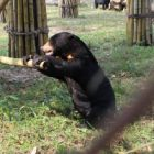 SEND HELP! – this blind sun bear is smashing up her home!