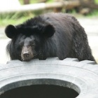 Rescued moon bear defies the odds to keep gall bladder