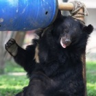 Rescued moon bear defies paralysis to forage in the sun