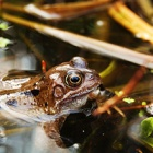 #SaveTheFrogsDay: The croaky amphibians who are a key indicator of environmental health