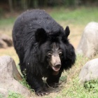 Animals Asia celebrates 20 years of pioneering opposition to bear bile industry