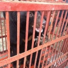 Rescued from bile farms - the
