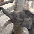 Five ways we'll help captive elephants in Vietnam