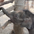 Dramatic attempt to introduce elephant calf to herd is caught on camera
