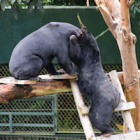 "Miomojo Cub House: Rescued bears graduate to ""big bear"" house – and they just love it"