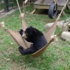 #MiomojoCubHouse: Footage shows little sun bear Goldie swinging for joy