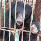 "Across Asia, moon bears may be ""vulnerable"" but in Vietnam their plight looks much worse"
