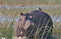 Hippos: Aggressive and deadly, but also vital to Africa's ecosystems