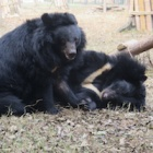 The way these rescued bears gently wrestle is just the sweetest