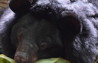#WishComeTrue: Six bears rescued from bile farm in Vietnam love their new lives