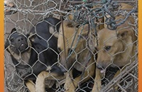 Indonesia police take action to combat the dog meat industry
