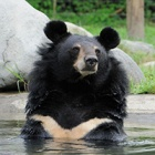 "Legendary ""peacemaker"" moon bear Jasper dies at Animals Asia's sanctuary"