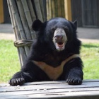 Rescuers where shocked to find bear's tongue torn out – one year on they are amazed at his appetite for life