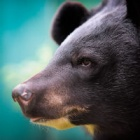 Shining a light on bear bile farming