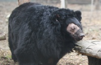 Blind bile farm bear free from pain after eye surgery