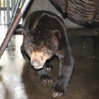 Rescued sun bear can now see his future freedom, fun and friends