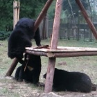 VIDEO: Three disabled bears are working overtime to figure out their new toy