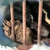 Campaign to stop illegal bear bile exports from China to Korea