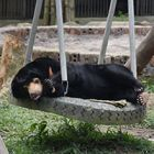 Miomojo Cub House: How rescued sun bear orphans spent the weekend