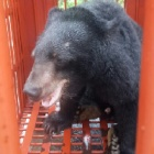 "Seven bears rescued as Vietnam ""gets serious"" about ending bile trade"